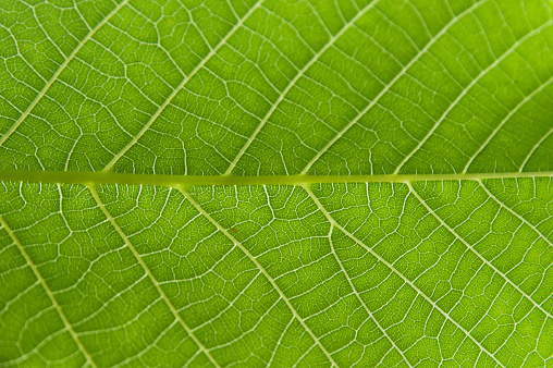istock Abstract closeup green leaf texture background 690390010