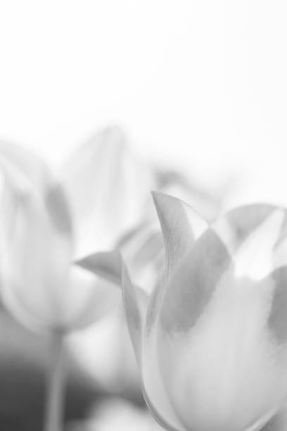 Abstract closeup of tulip flowers in monochrome picture id1075486284?b=1&k=6&m=1075486284&s=612x612&w=0&h=cvo4u2ckvi4ix r5mbgp8tfuzi3dteady1nqzwjryfq=