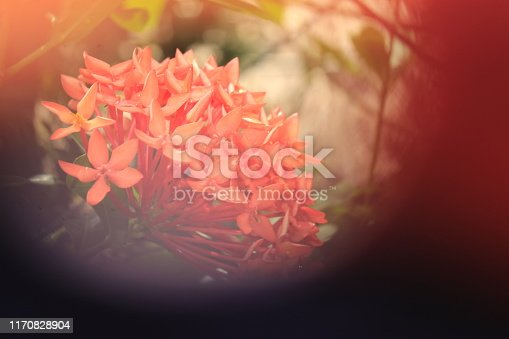 647090632 istock photo Abstract colored background with beautiful ixora flowers 1170828904