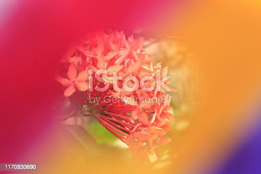 647090632 istock photo Abstract colored background with beautiful ixora flowers 1170830690