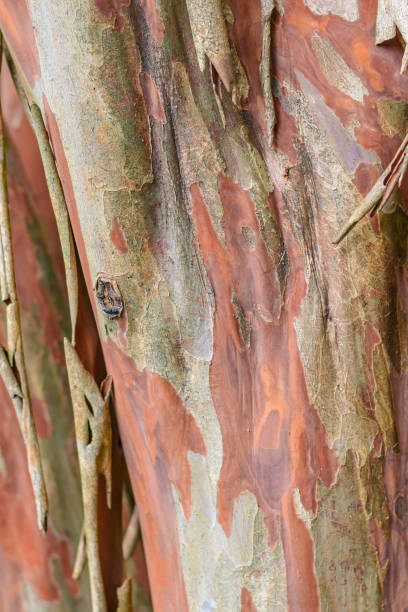 Abstract Crepe Myrtle Bark Background stock photo