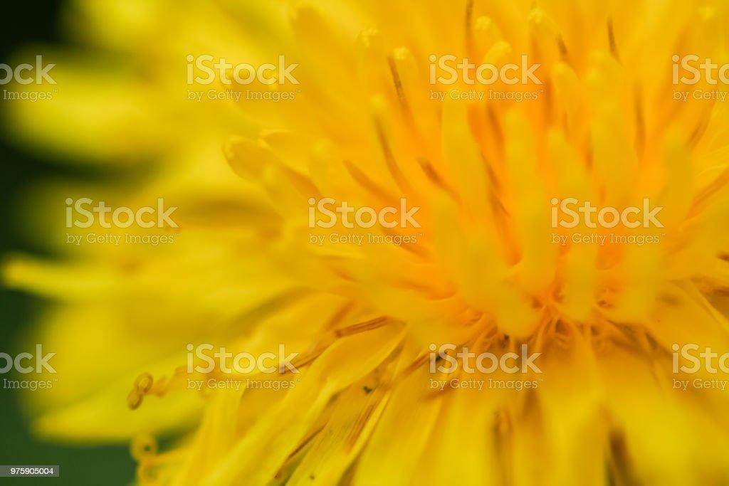 Abstract Dandelion stock photo