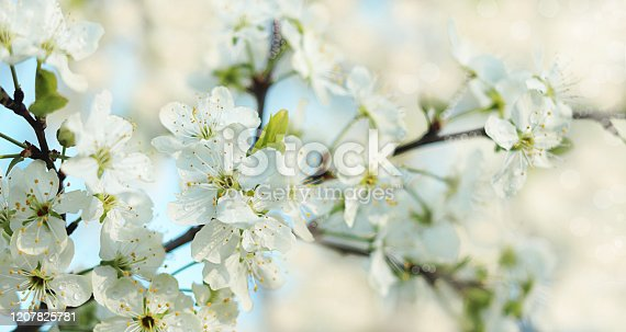 Abstract floral spring background from defocused tender cherry flowers in pastel colors with soft focus. Banner for the screen, beautiful vibrant greeting card or invitation, seasonal concept of Easter