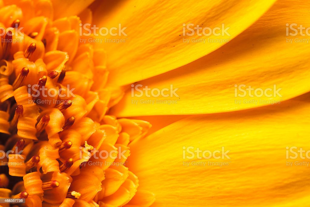 Abstract golden yellow orange flower background, extreme closeup of daisy royalty-free stock photo