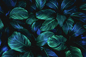 leaves of Spathiphyllum cannifolium, abstract green texture, nature background, tropical leaf