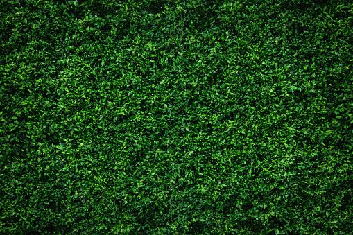 Backdrop of abstract green leaves natural wall.