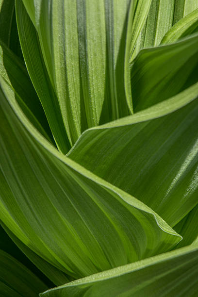 Abstract Green Leaves Abstract macro photograph of bright green leaves false hellebore stock pictures, royalty-free photos & images
