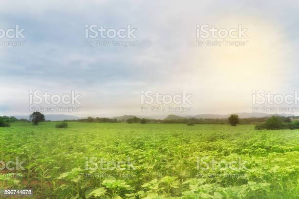 Photo of abstract green young sunflower farm in fog and sun light - can use to display or montage on product