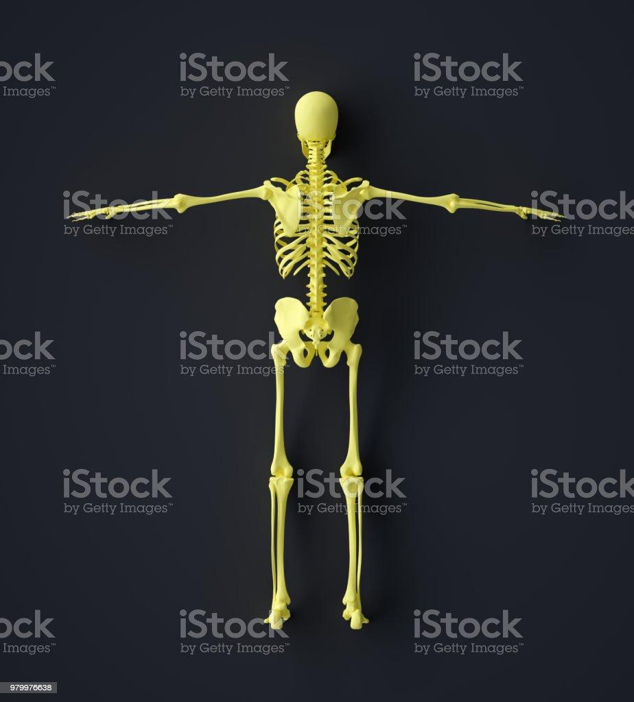 Abstract Human Skeleton Rear view stock photo
