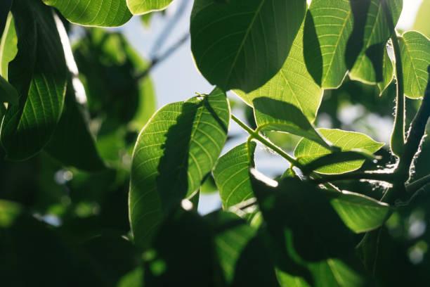 image abstraite des feuilles vertes de noyer contre la lumière du soleil vive. focus sélectif, effet film et traitement de l'auteur. - couleur des végétaux photos et images de collection