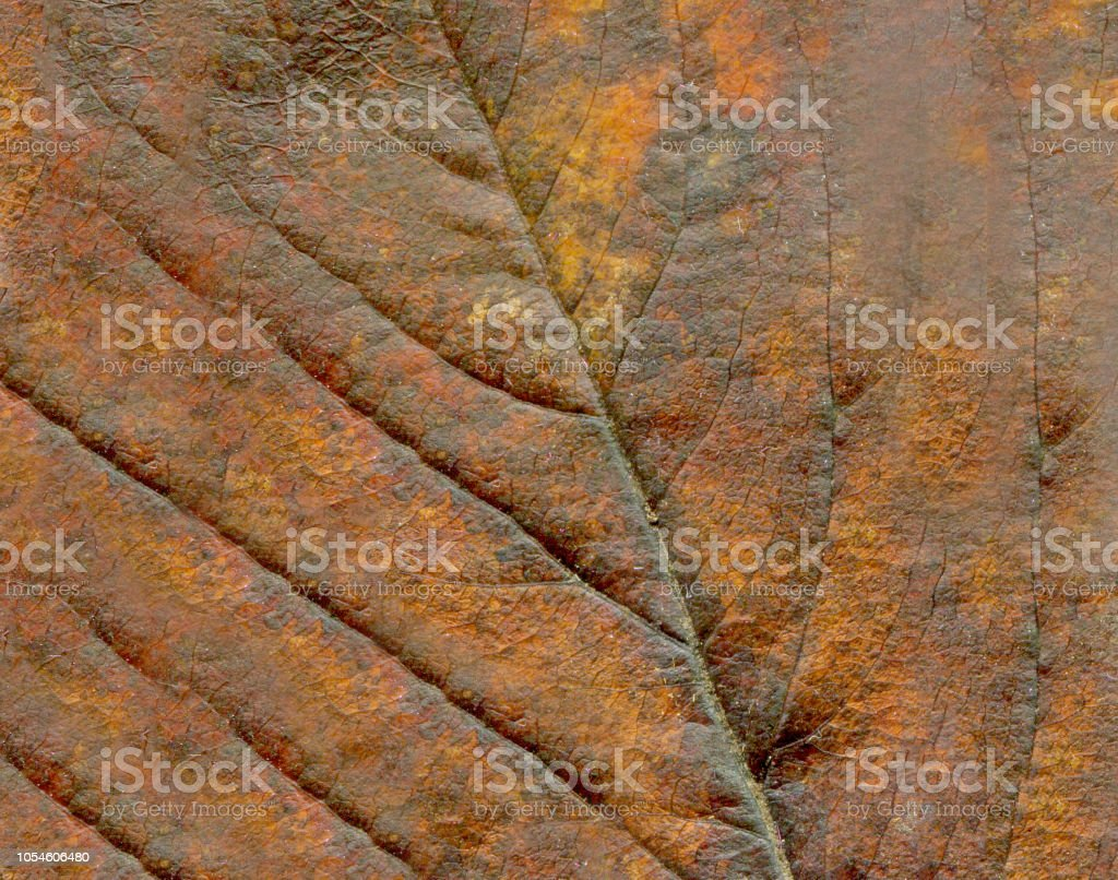 Abstract leaf veins. Brown autumn leave close up. stock photo