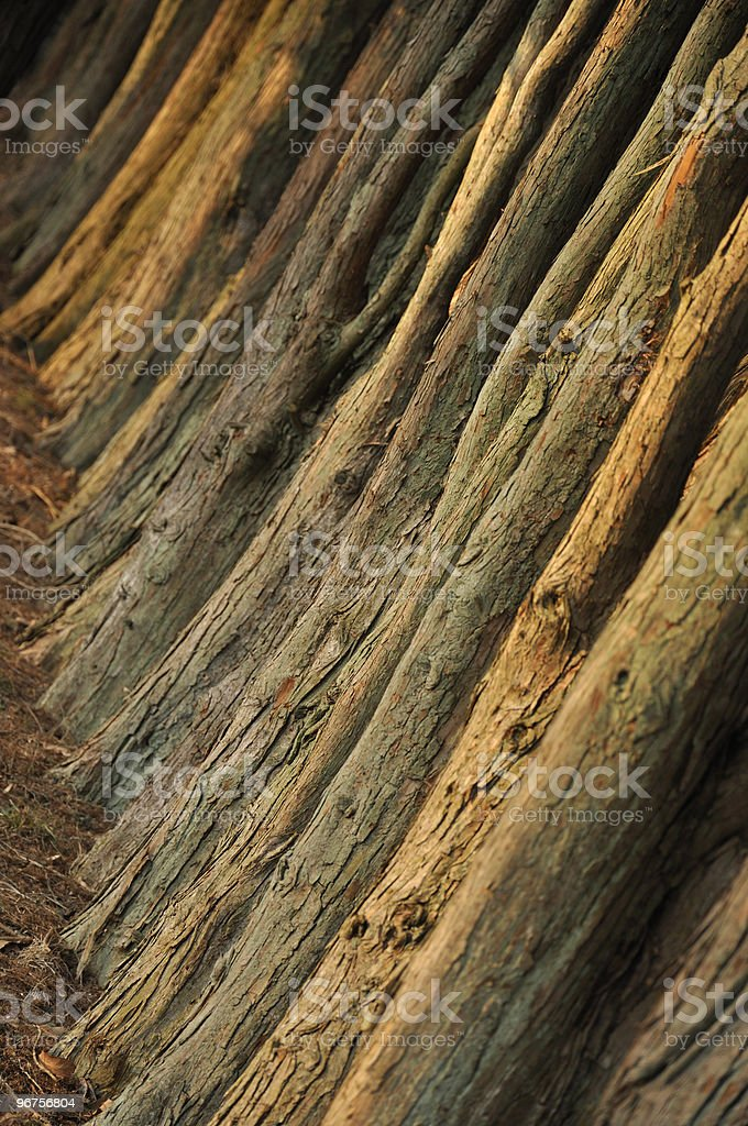 Abstract Lines: Tree Trunks royalty-free stock photo