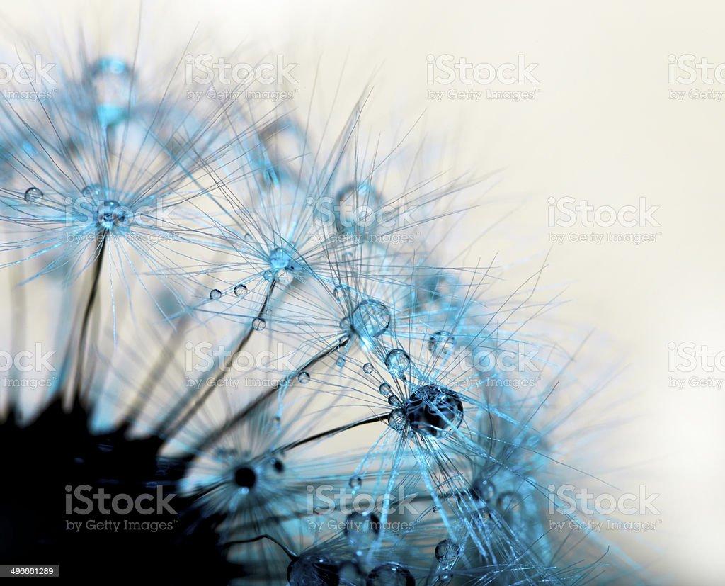 Abstract  macro  dandelion stock photo