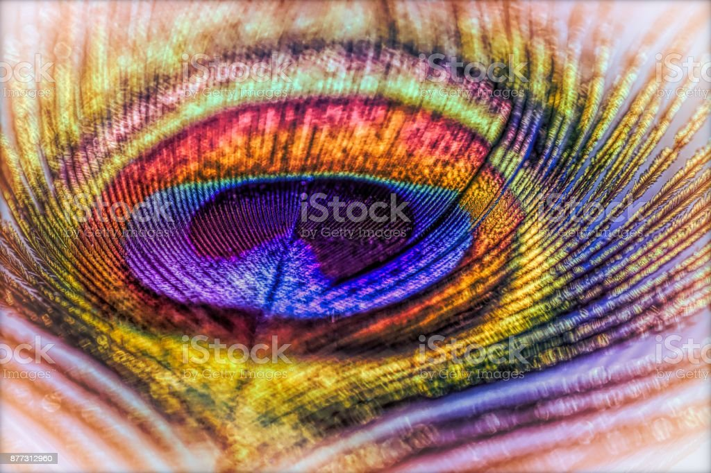 Abstract macro peacock feather, blur, multicolored exotic bird stock photo
