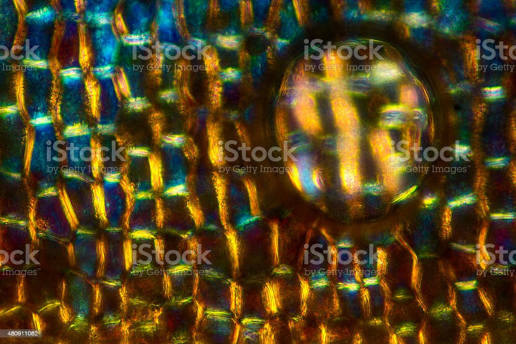 Abstract micrograph of cell walls of acorn bract, with bubble. stock photo