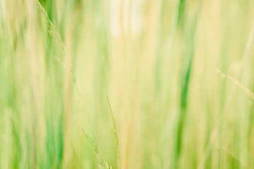 Abstract natural grass, reed background, close-up, motion blurred