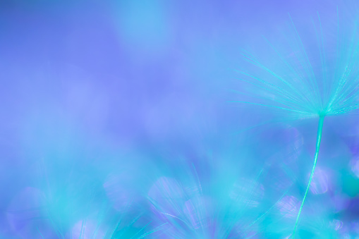 157681198 istock photo Abstract nature background image, Dandelion seed extreme close-up, macrophotography, with copy space, no people 1179264314