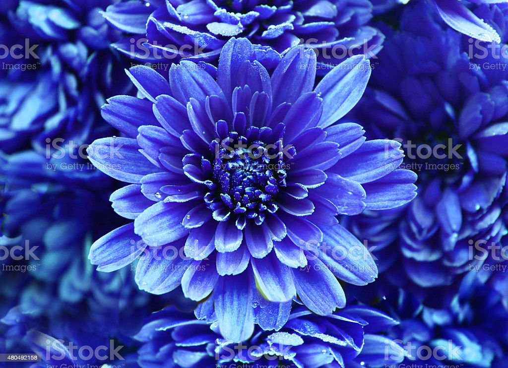 Abstract of flower dahlia stock photo