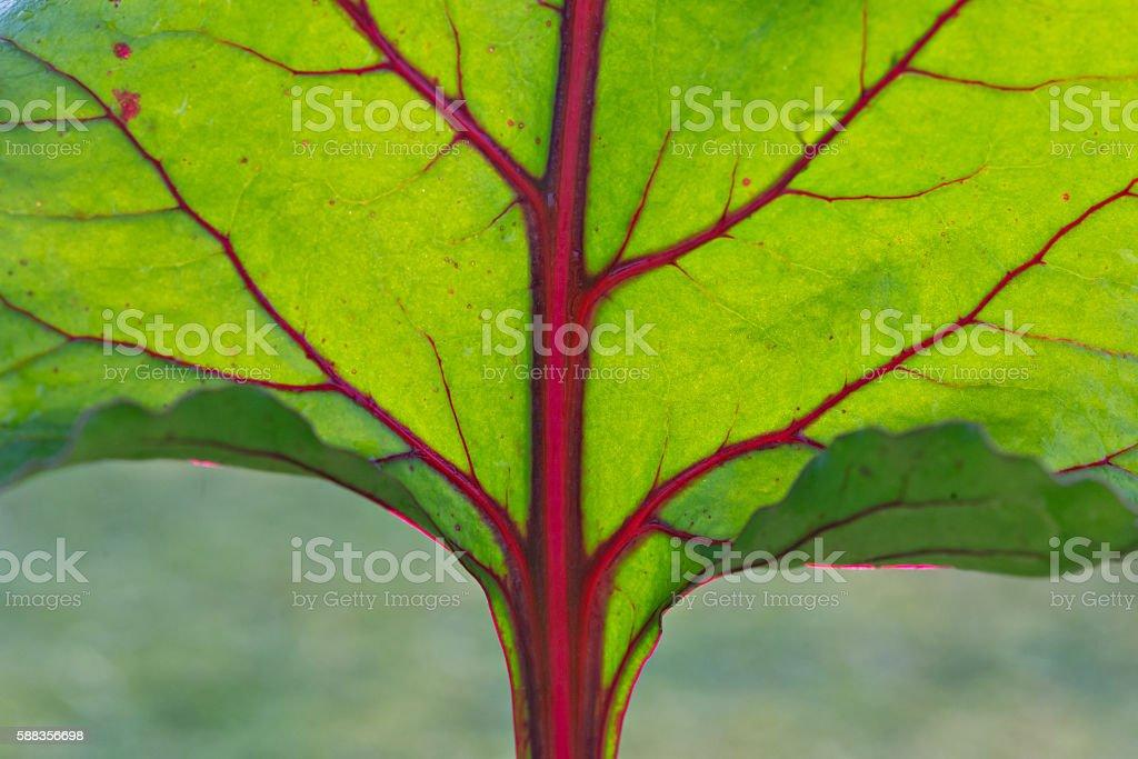 Abstract pattern streaks on leaf beet macro. stock photo