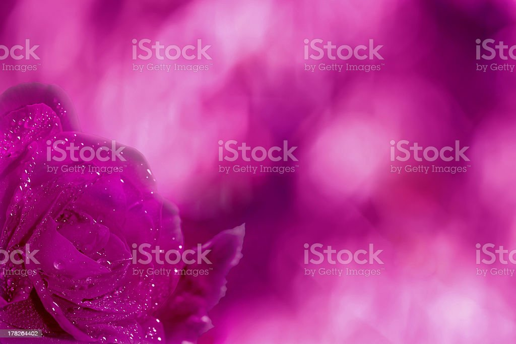 Abstract pink background with rose flower royalty-free stock photo