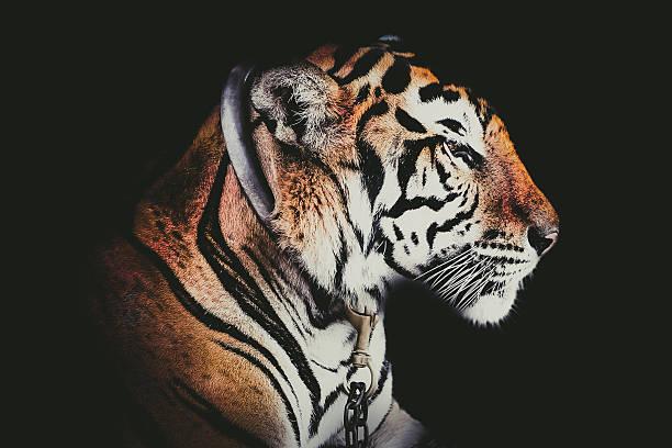 abstrakte seite gesicht porträt-tiger isoliert auf schwarzem hintergrund - schwarzer puma stock-fotos und bilder