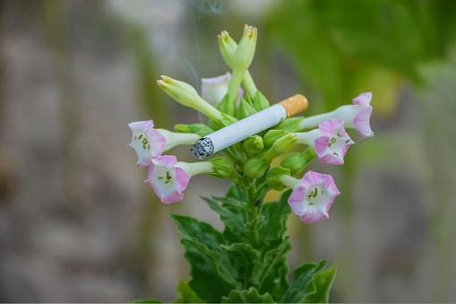 Abstracte Zachte Wazig Voor Het Roken Van Sigaretten Op De Tabak Turks Solanaceae Bloem In De Tabak Veld Plantage Stockfoto en meer beelden van Aziatische kegelvormige hoed
