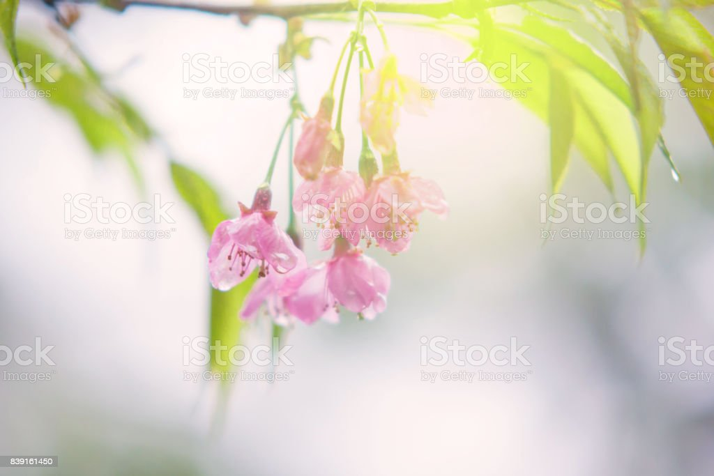 Abstract sweet cherry blossom for spring background stock photo