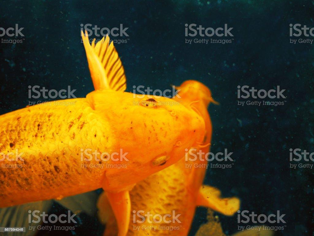 7d62bfdd9c7 Natação abstrata carpa Koi peixes variações de bela cor dourada japonês  (cyprinus carpio) na