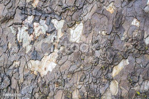 Close up or the irregular bark of an ancient Sycamore tree.