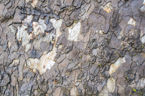 Abstract Sycamore Close up or the irregular bark of an ancient Sycamore tree. sycamore tree stock pictures, royalty-free photos & images