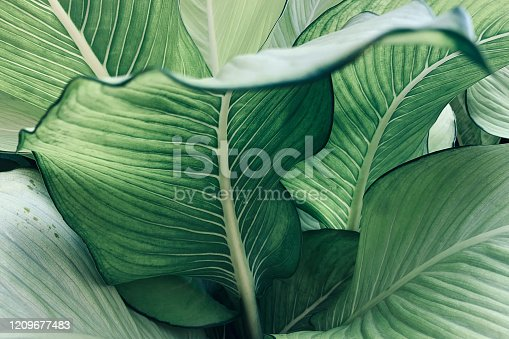 Abstract tropical green leaves pattern, lush foliage houseplant Dumb cane or Dieffenbachia the tropic plant.