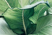 istock Abstract tropical green leaves pattern, lush foliage houseplant Dumb cane or Dieffenbachia the tropic plant. 1209677483