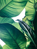 Abstract tropical green leaves pattern on white background, lush foliage of giant golden pothos or Devil\