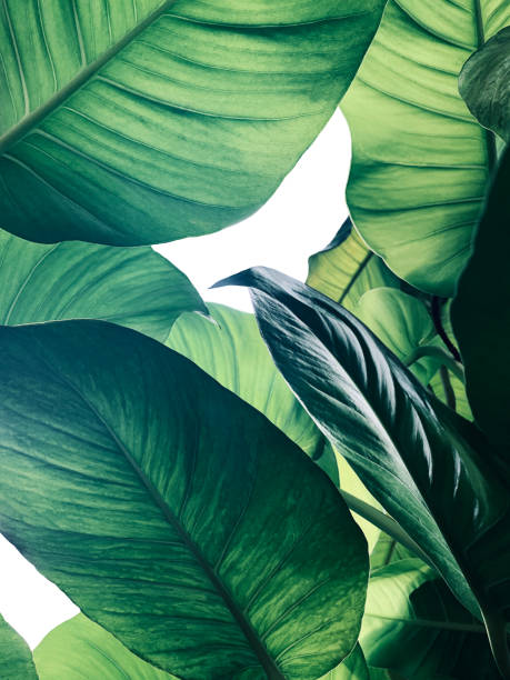 Abstract tropical green leaves pattern on white background, lush foliage of giant golden pothos or Devil