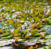 Beautiful floral background of water lilies leaves in wild nature. Abstract tropical leaves background