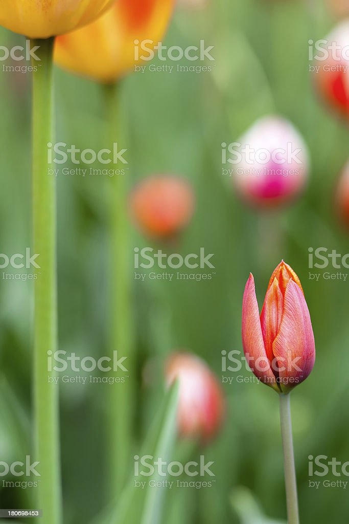 Abstract Tulip royalty-free stock photo