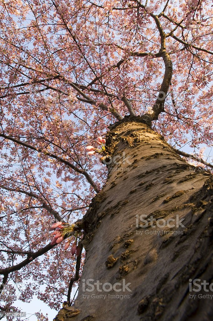 Abstract View Up the Trunk Full Bloom Cherry tree royalty-free stock photo