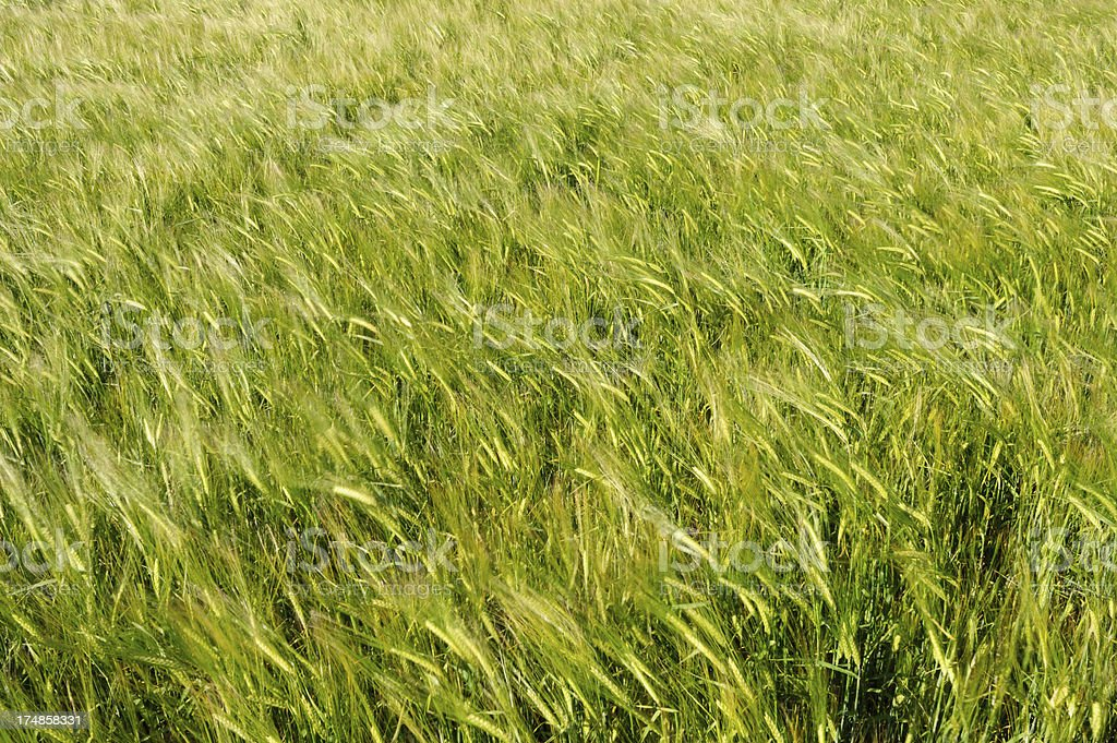 Abstract Wheat Field royalty-free stock photo
