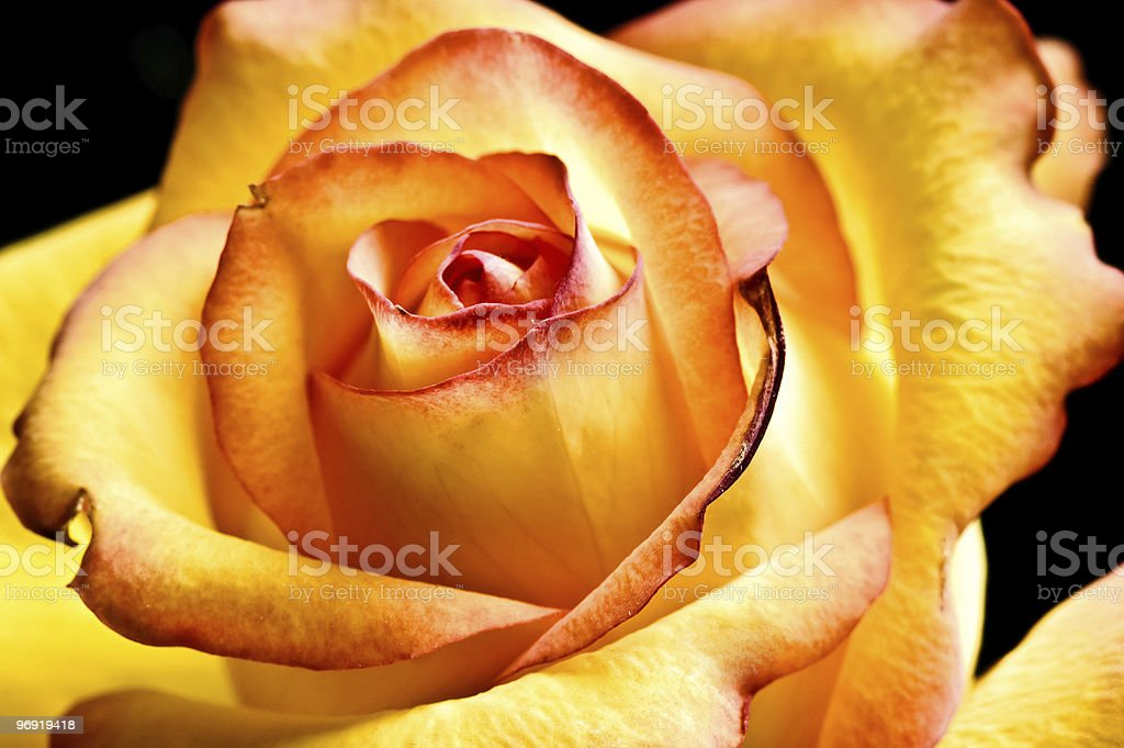abstract yellow beautiful rose royalty-free stock photo