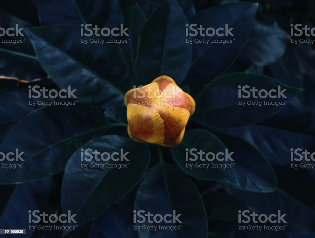 Abstract yellow bud of tropical flower stock photo