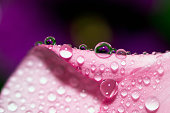Abstraction Floral macro background. Close-up Water Drops Pink Flower Violet Background Selective Focus Place for text.