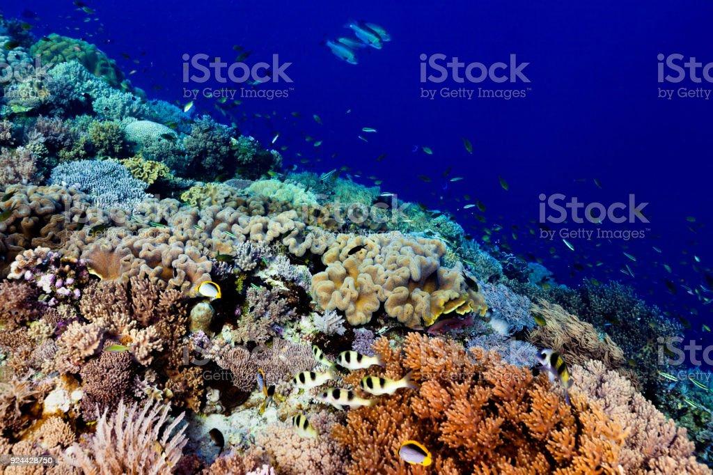 Abundance of Sea Life, Edge of Perfect Coral Reef, Banda Sea, Indonesia stock photo