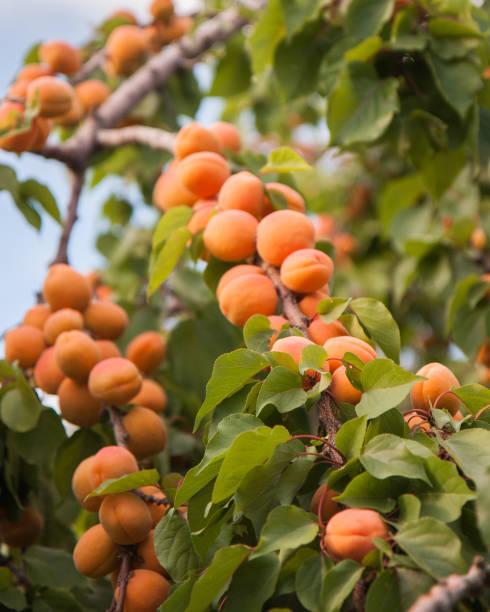 Abundant Apricots stock photo