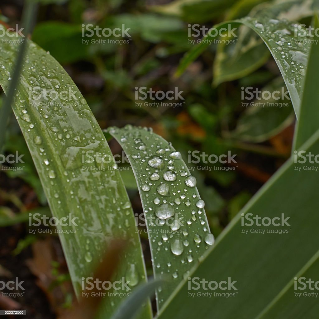 Abundant dew on blades of grass. foto de stock royalty-free