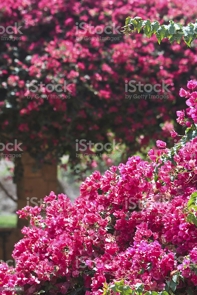 Abundant flowering bougainvilleas on Cyprus royalty-free stock photo