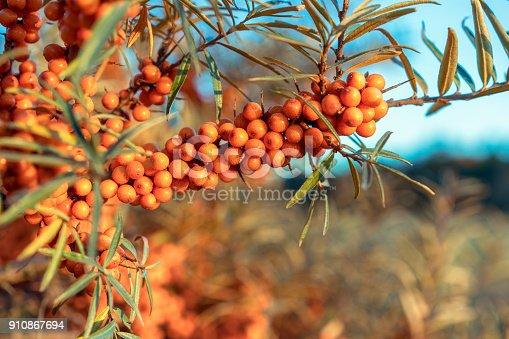 Fresh and ripe Sea Buckthorn berries growing wild in East Lothian, Scotland.