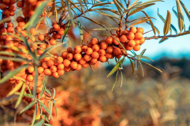 풍부한 신선한 바다 갈 매 나무속 열매 야생 성장 - 씨벅턴 뉴스 사진 이미지