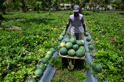 Abundant Harvest Prices are Prone to Rise Down