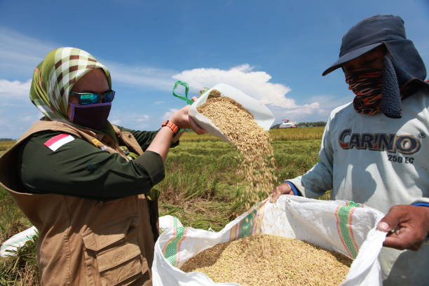 Abundant rice harvest amid Corona outbreaks A number of farmers are carrying out rice harvesting in the midst of a corona virus outbreak in the rice fields of Samaturu District, Kolaka Regency, Southeast Sulawesi. amid stock pictures, royalty-free photos & images