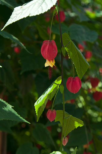Abutilon Megapotamicum Or Chinese Lantern Flowers On Stem Stock